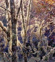 salem-hairy-trees-sunburst-edi-small