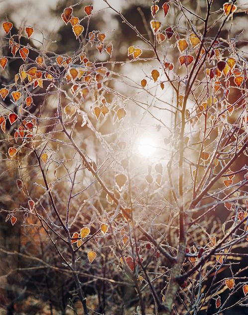 sun-through-frosty-leaves-burnham-v2-small